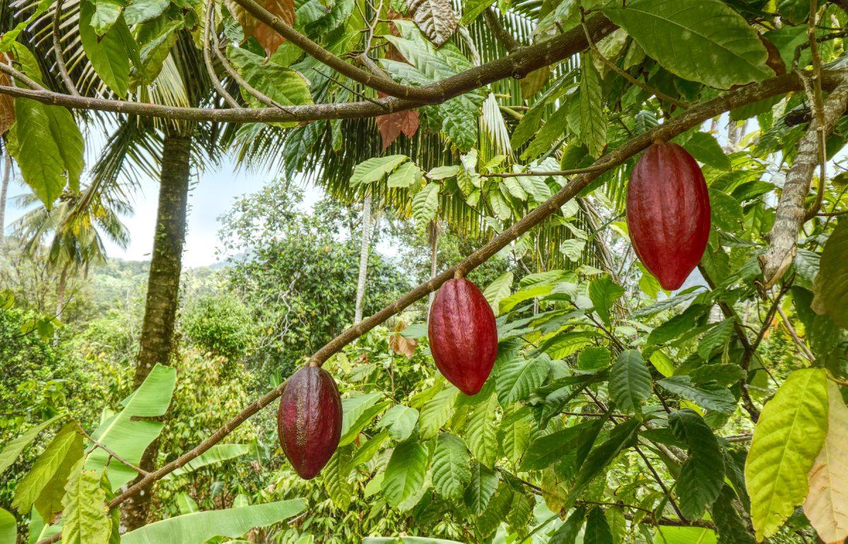 Cocoa pod on the island of St. Lucia