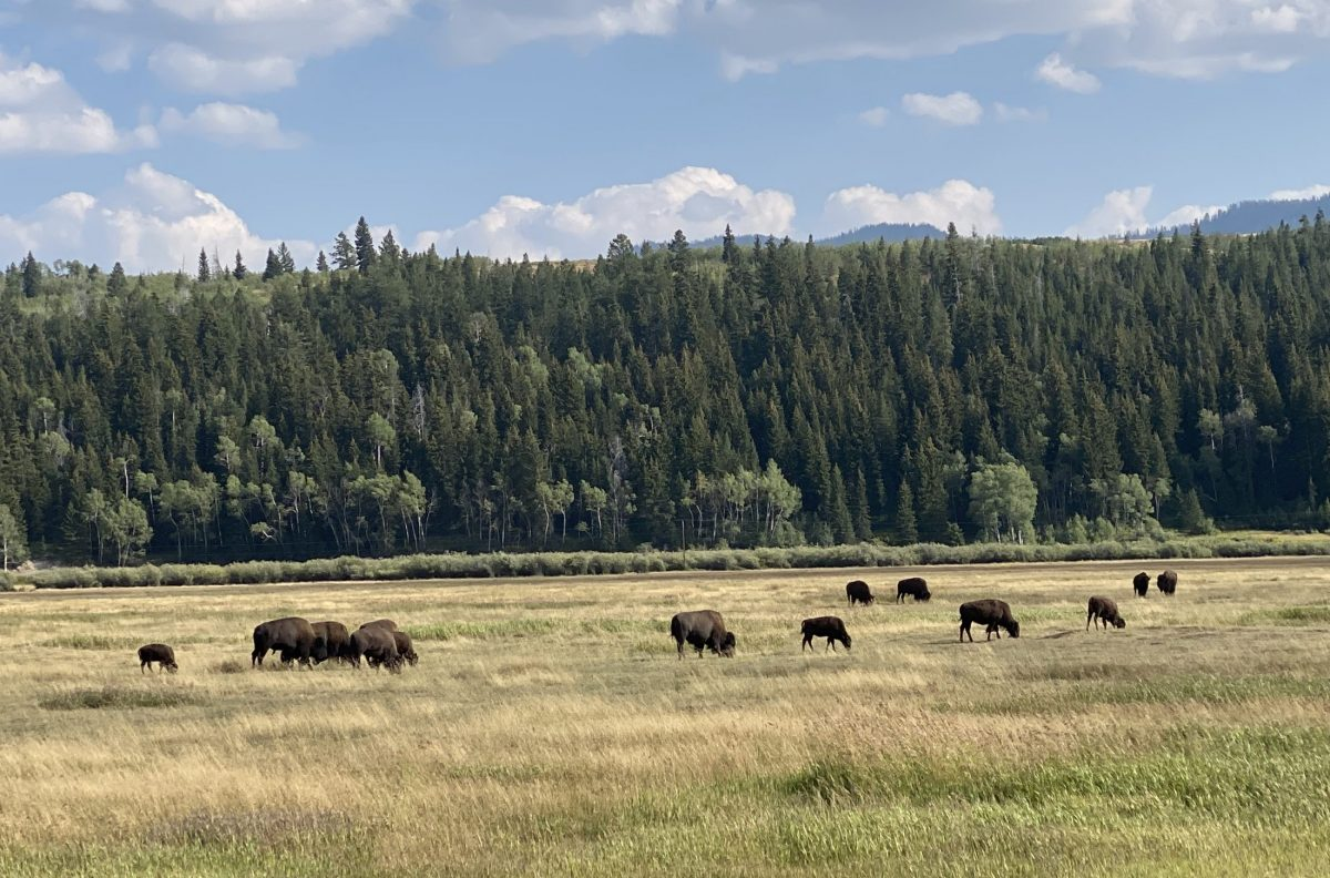 Bison in Grand Tetons